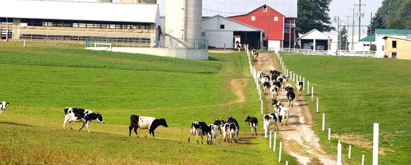 Entenda a Alimentação das Vacas Leiteiras Para Lucrar Mais