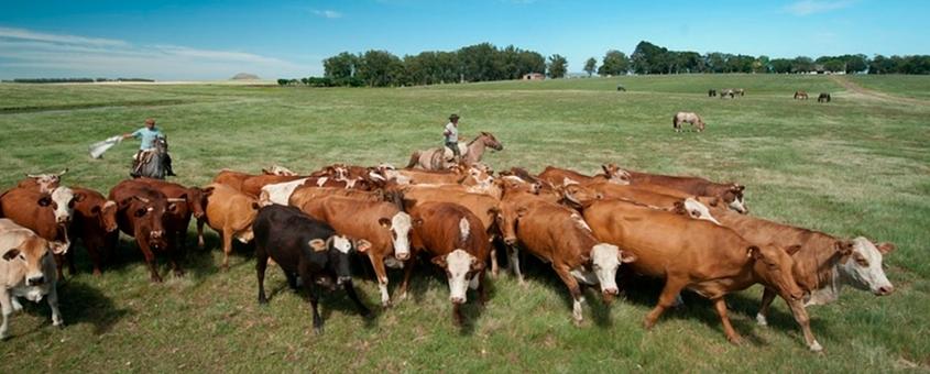 As Raças Bovinas Da Produção Pecuária Brasileira