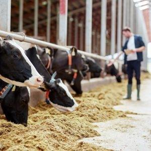 A pecuária leiteira no agronegócio