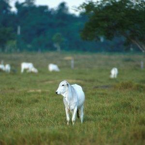 Raça Nelore na pecuária brasileira