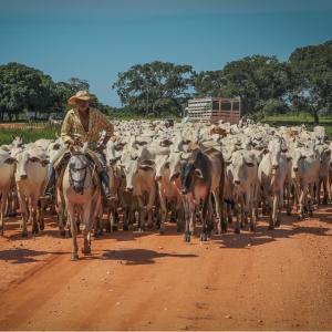 cavalo de trabalho tocando gado