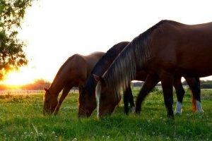 a versatilidade dos cavalos