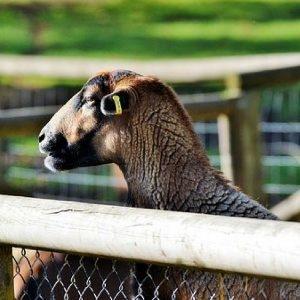 futuro da ovinocultura do brasil