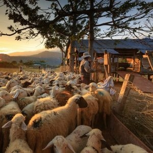 ovinocultura lucrativa