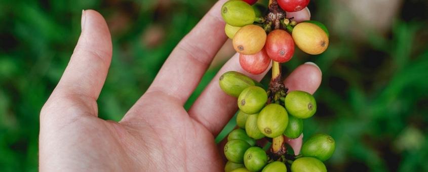 Agricultura do cafe no Brasil