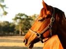equinos da raça mangalarga marchador