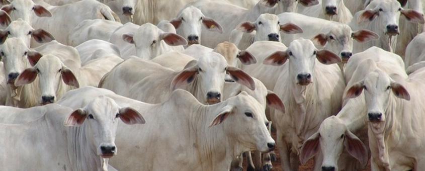 Importância do Nelore na bovinocultura do Brasil