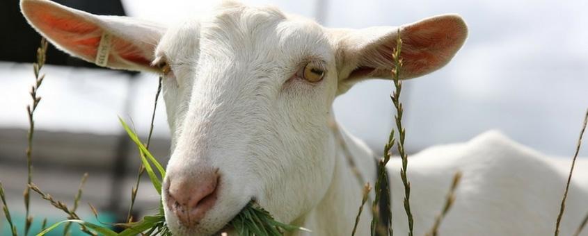 criar cabras no Brasil