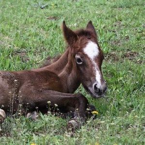 Genética equina. Cavalos de qualidade.