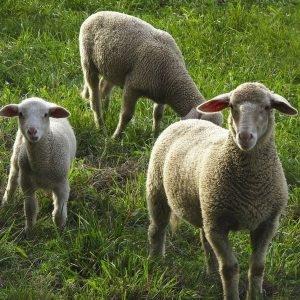 produtos da ovinocultura no brasil