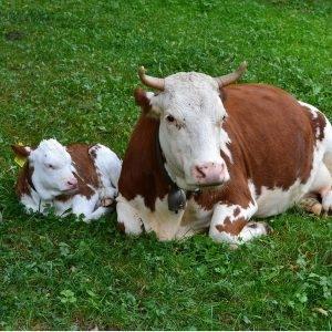 reprodução dos bovinos e melhoramento do rebanho