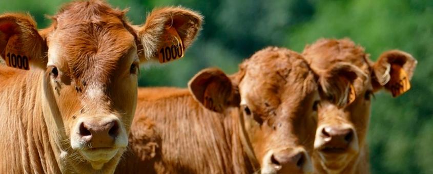 bovinocultura melhorada a partir da reprodução otimizada