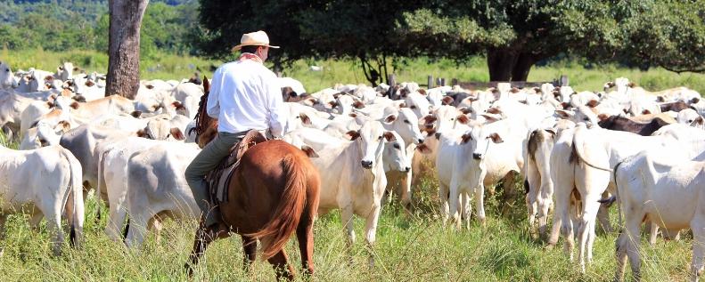 Pastagem com gado nelore