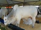 suplementação proteinada em bovinos