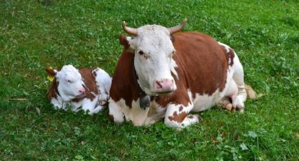 inseminação artificial em novilhas